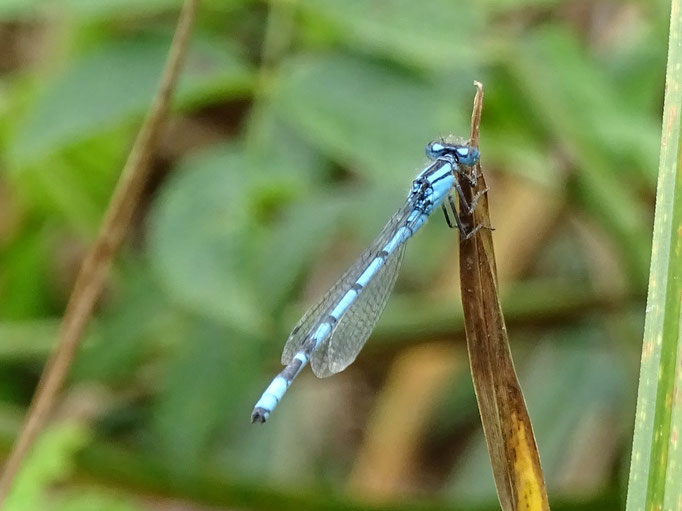 Common Blue Damselfly (photo by Steve Self)