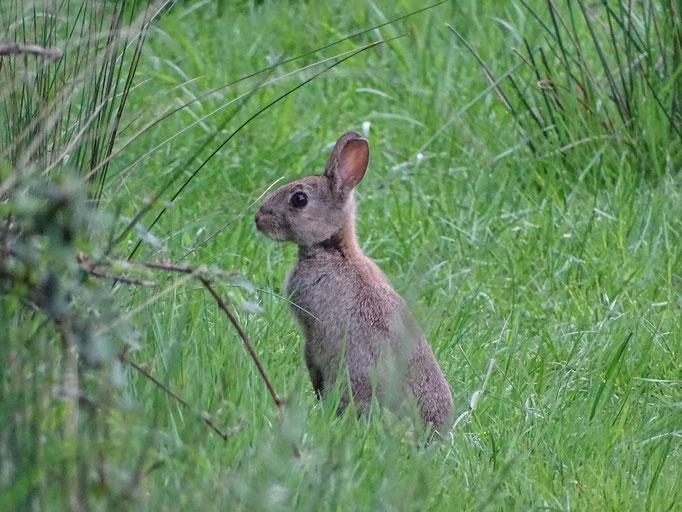 Rabbit (photo by Steve Self)