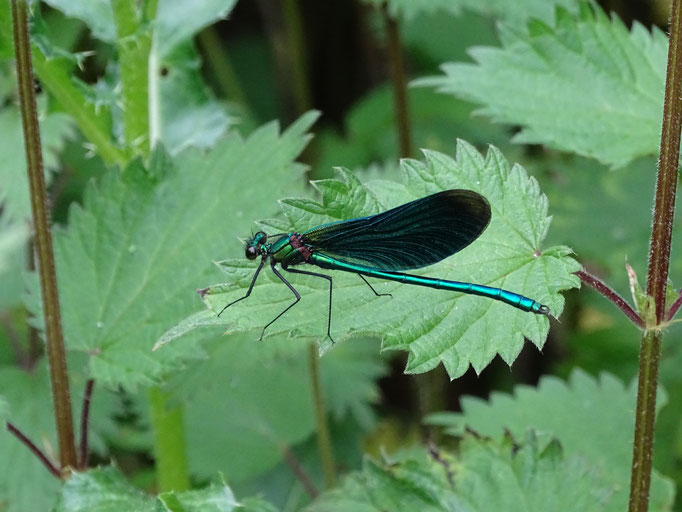 Beautiful Damoiselle (photo by Steve Self) June 2016