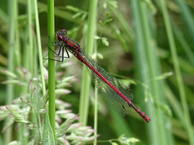 Large Red Damselfly (photo by Steve Self) June 2016
