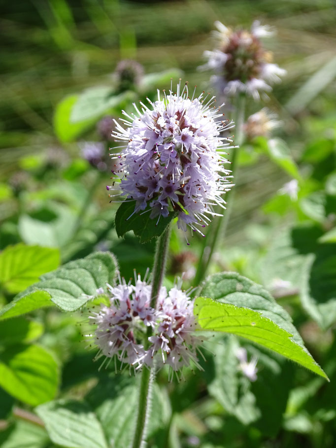 Water Mint (photo by Steve Self) August 2016