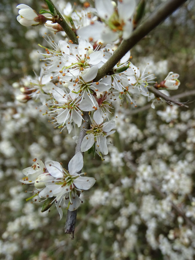 Blackthorn (photo by Steve Self) April 2016