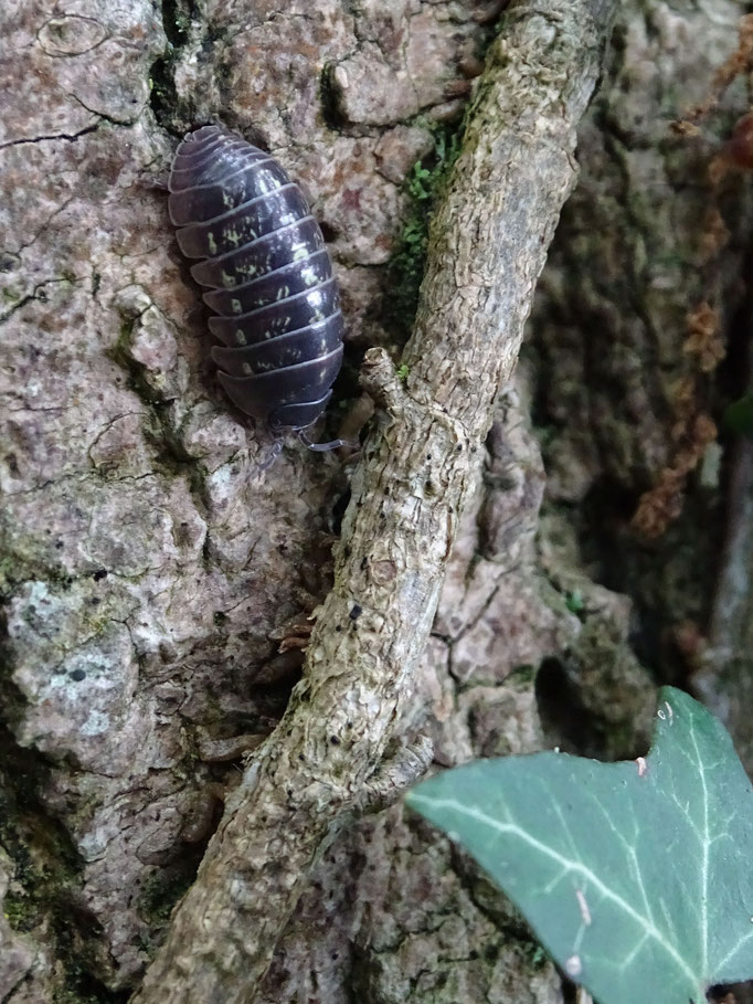 Pill Woodlouse (photo by Steve Self) June 2016