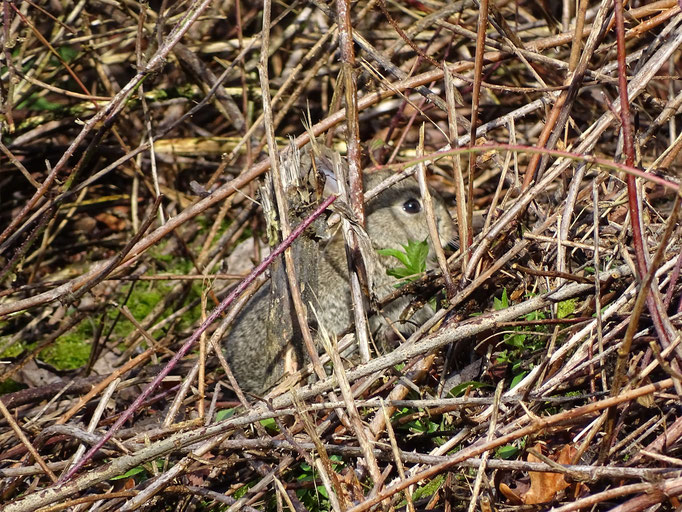 Hiding rabbit (photo by Steve Self) Feb 2016