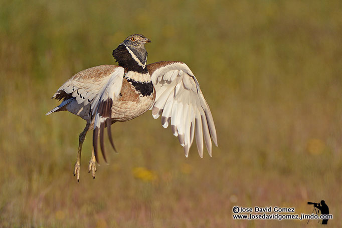 photograp little bustards