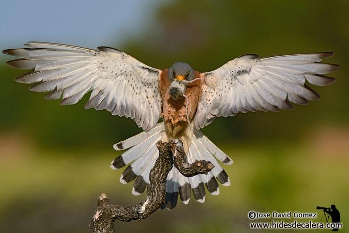 Lesser kestrel landing