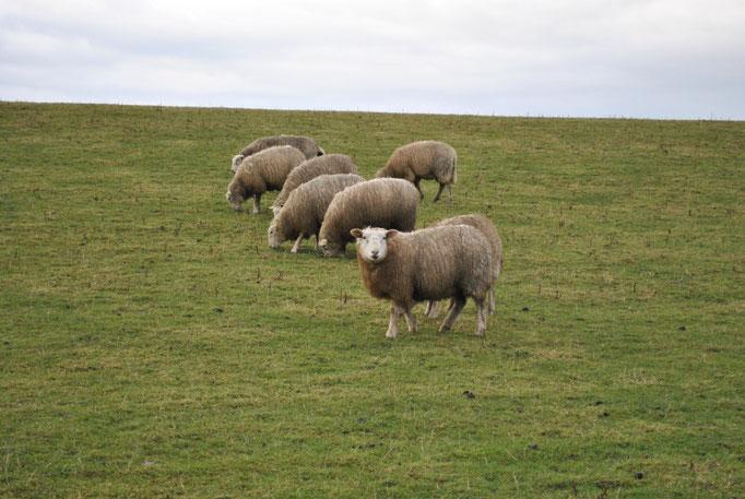 Schafe auf dem Deich Frühjahr 2011