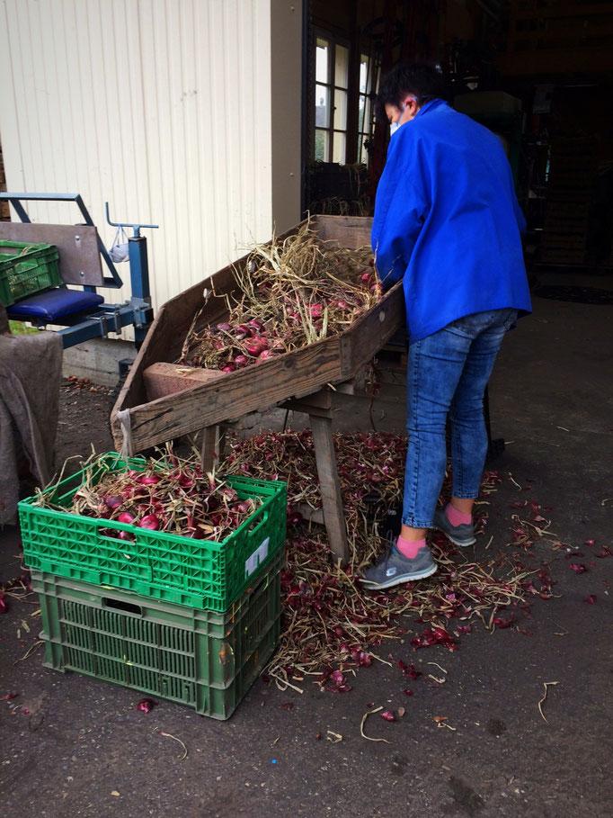 Auch hier muss von Hand gearbeitet werden damin die Zwieblen nicht unnötig beschädigt werden.