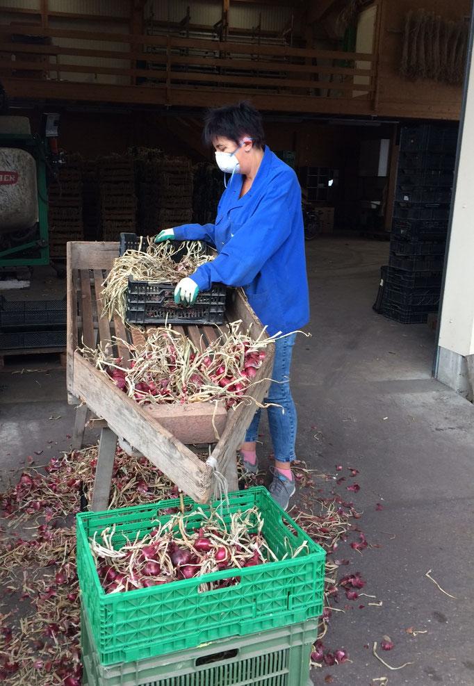 Bei dieser Arbeit wird das Abfallende Laub und die äusserste Hülle von den Zwiebeln getrennt.