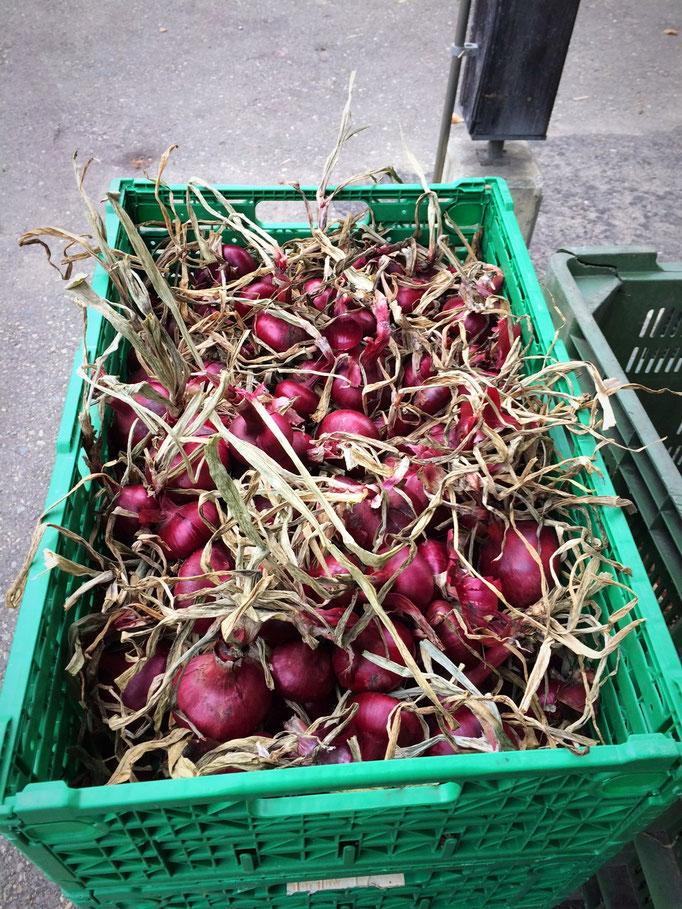 Hier sieht man die Zwiebeln nach dem Gattern,  nun sind sie bereit zum Putzen oder Rüsten.