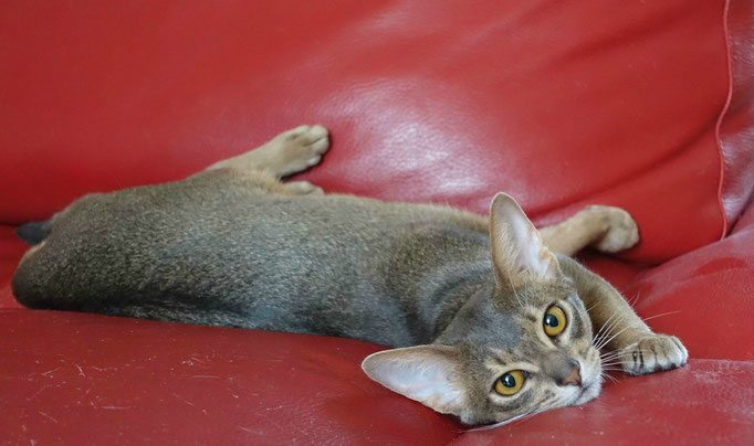 ABYKO'S Deuce Coupe - Femelle Abyssin de couleur Bleu Ticked Tabby. (Chatterie du Red Carpet)