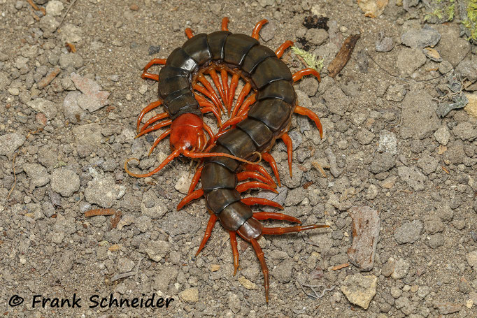 Scolopendra (subspinipes) dehaani