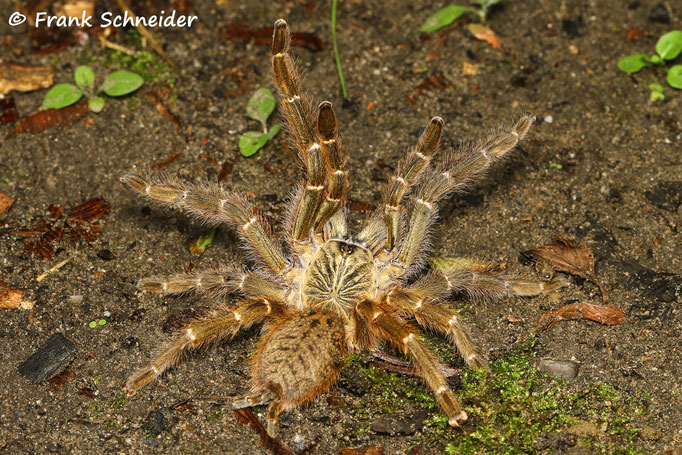 0.1 Pterinochilus murinus bcf