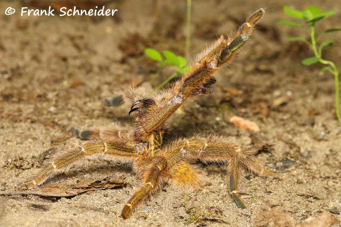 1.0 Pterinochilus murinus tcf