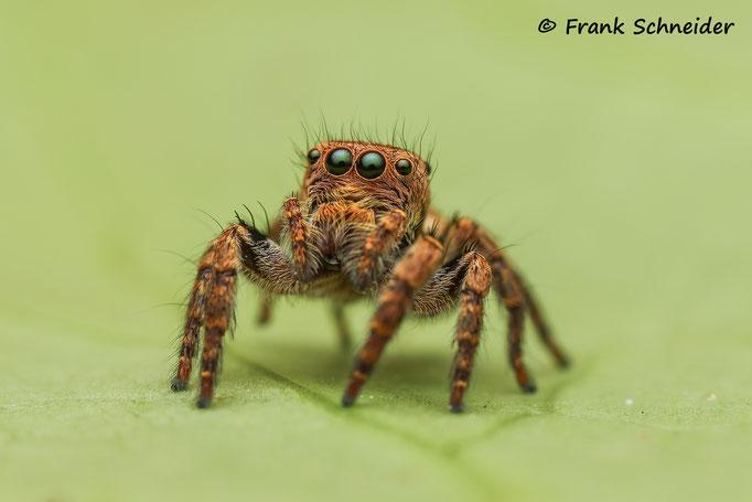 0.1 Salticidae sp. ex. Borneo