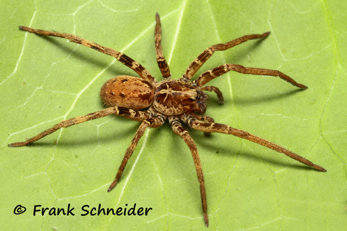0.1 Ctenidae sp. Mali