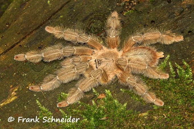"""1.0 Phormingochilus sp. """"rufus"""""""