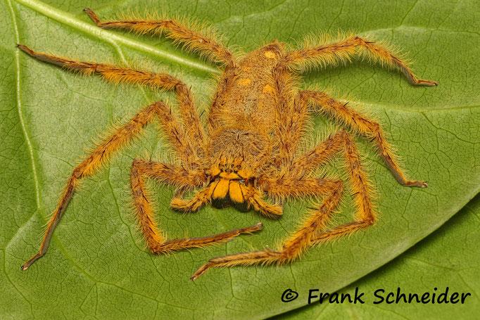 0.1 Heteropoda davidbowie