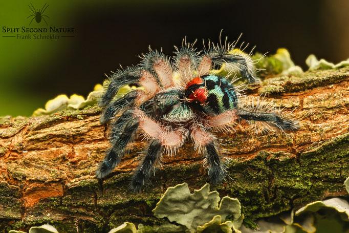 Typhochlaena seladonia Sling