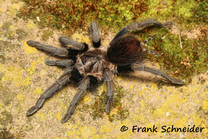 "0.1 Phormictopus sp. ""South Hispaniola"""