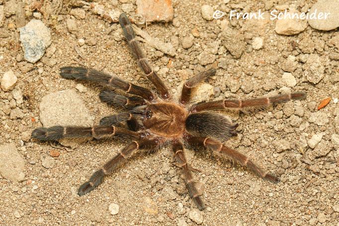 0.1 Haploclastus nilgirinus