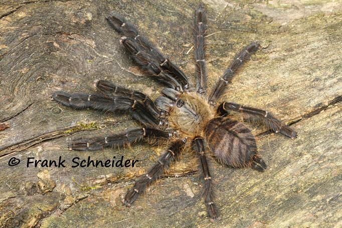 """0.1 Cyriopagopus sp. """"Sulawesi black"""""""