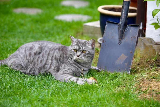 Tenzing hilft bei der Gartenarbeit