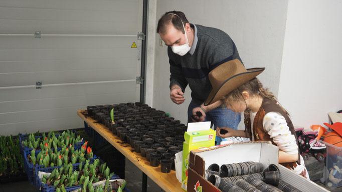 Wir topfen Mutmacher-Tulpen ein.