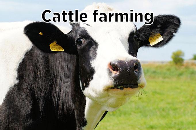 Cattele farming