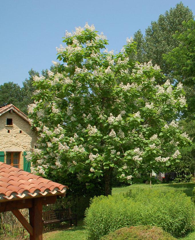 Prachtig bloeiende Catalpa in onze achtertuin.