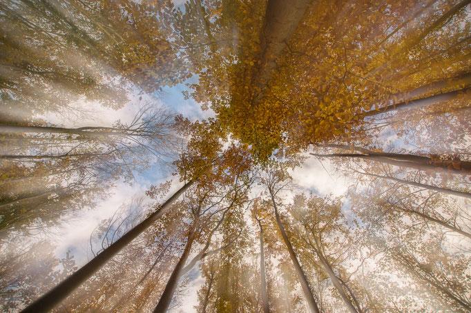 Der Blick in herbstliche Baumkronen