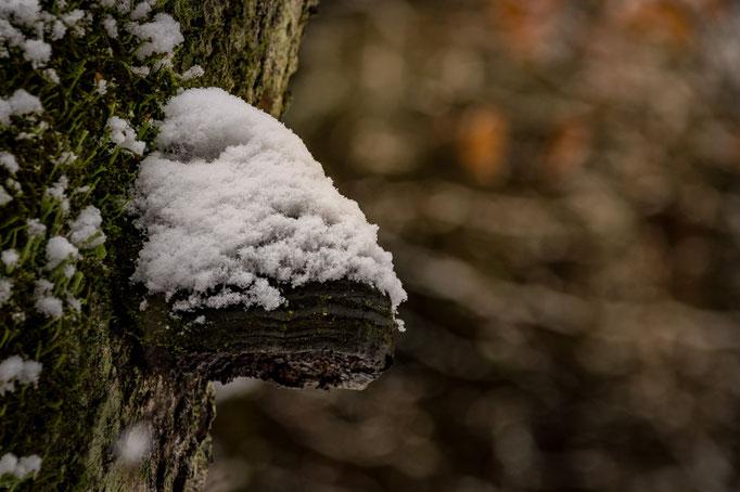Ein Baumpilz mit Schnee
