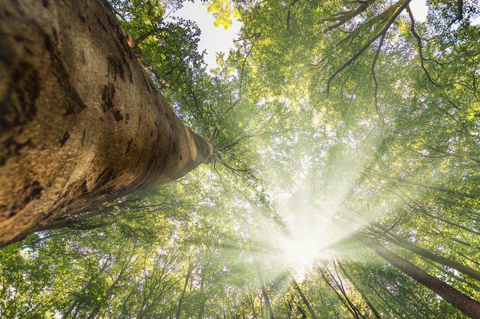Sonnenstrahlen fallen durch eine Buchenkrone