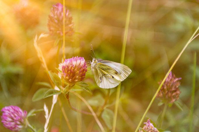 Ein Schmetterling an einer Blüte