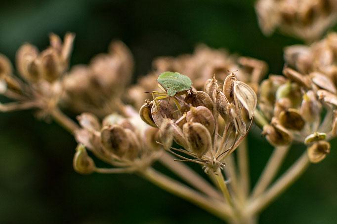 Eine Wanze auf einem Blütenstand