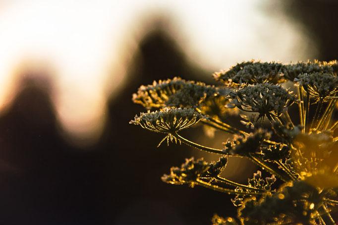 Nahaufnahme eines Blütenstandes im Gegenlicht
