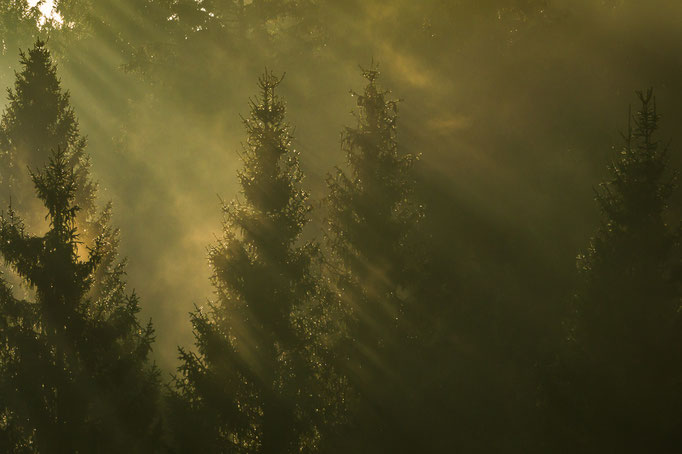 Sonnenstrahlen fallen durch Fichtenkronen