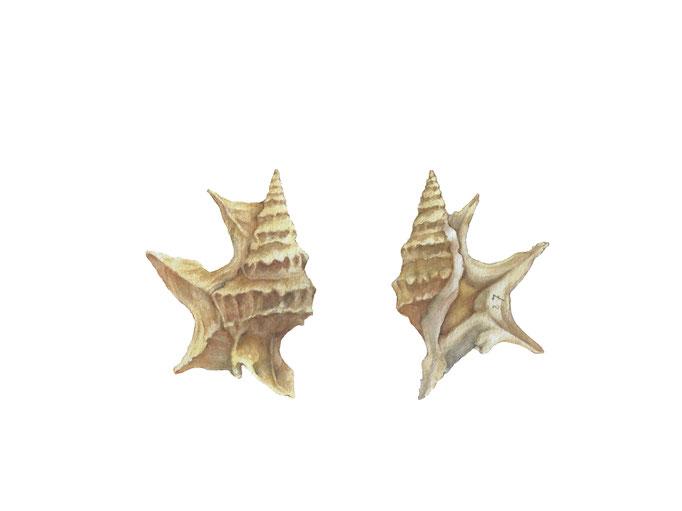 Aporrhais perspelecani L. I Watercolor I 32 x 24 cm