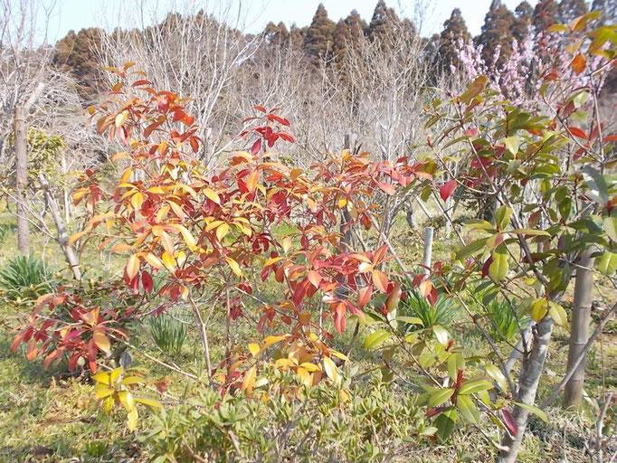 ベニカナメモチの赤い新芽