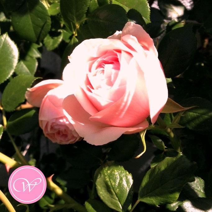 Rose Nahéma (Kletterrose - Alter: 2 Jahre)
