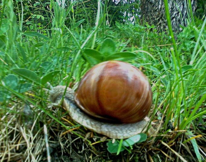 geile Schnecke + horney snail + lumaca libidinosa