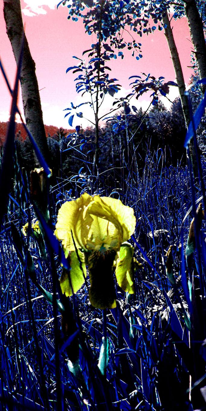 Iris + Lilie + lilia