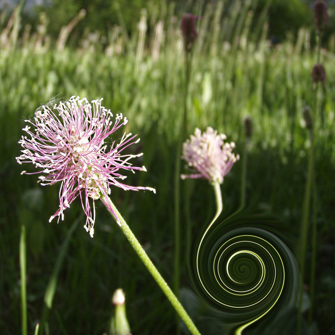 Zauberblume + fiore magico + magic flower