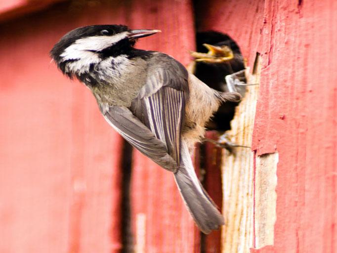 Ein Vogel der sein Nest in einer Holzfassade gefunden hat.