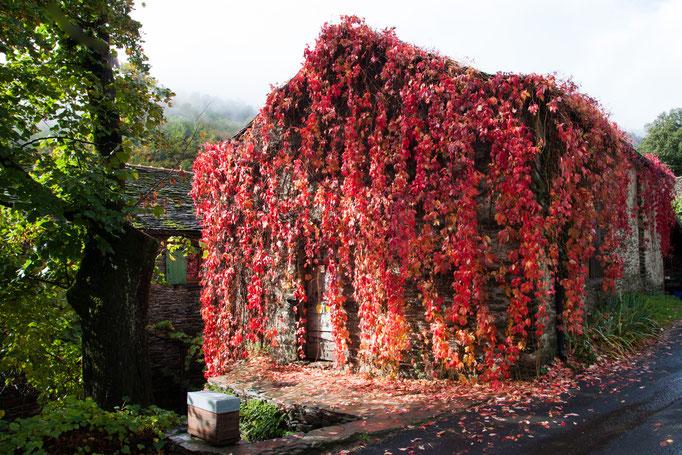 Vignes rouge automne