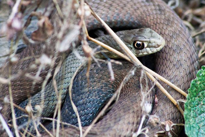 Serpent couleuvre de montpellier