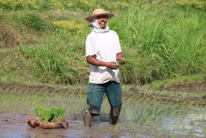 Plantation du riz dans les campagnes.BALI
