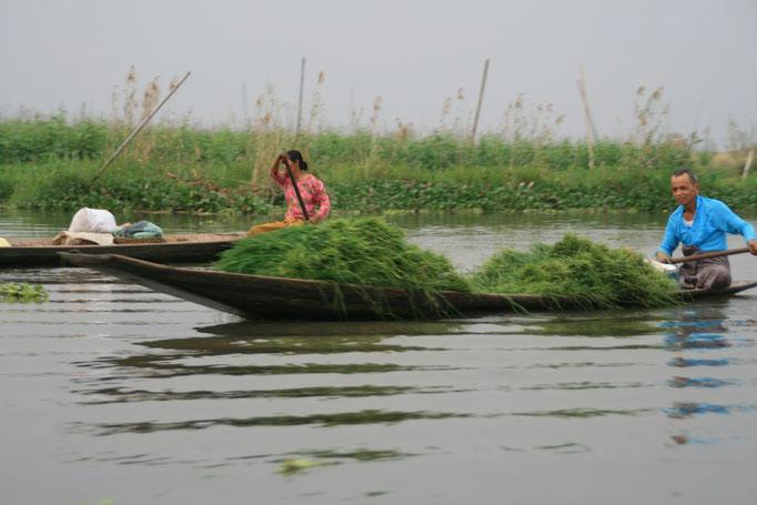 Cultivateur sur le lac Inle. MYANMAR