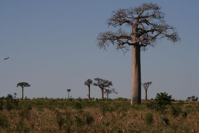 Baobab vers le sud. TULEAR.