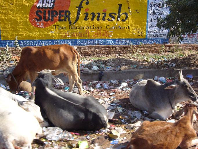 Vaches sacrées se nourrissant parfois de plastique. AGGRA.